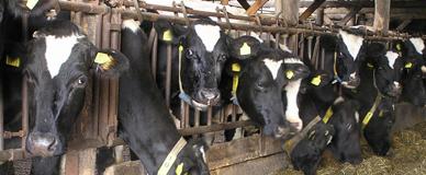 Melkveebedrijf de nieuwe Schatkuil (Overasselt)