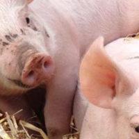 Varkenshouderij en zorgboerderij Het Spekrijt (Deurne)