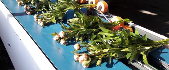 Knulst biologische leghennen en pioenrozen (Stavenisse)